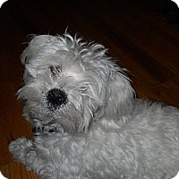 Adopt A Pet :: Stevie - Denver, CO