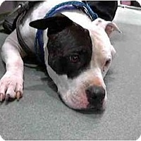 Adopt A Pet :: Emerson - Seattle, WA