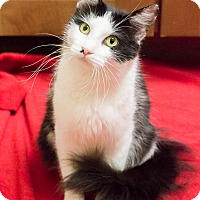 Adopt A Pet :: Posy - Chicago, IL