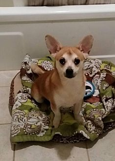 Chihuahua/Corgi Mix Dog for adoption in Columbia, Tennessee - Leon/TN