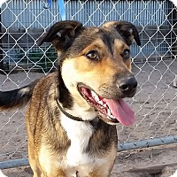 Adopt A Pet :: Bolt - Greeley, CO