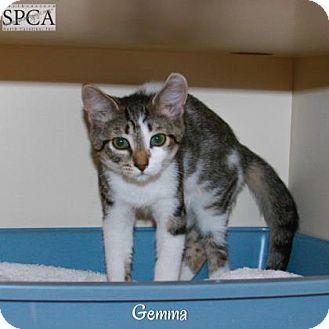 Domestic Shorthair Cat for adoption in Elizabeth City, North Carolina - Gemma