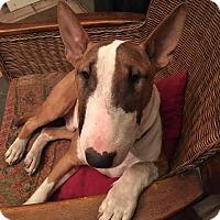 Adopt A Pet :: Butters - Irving, TX