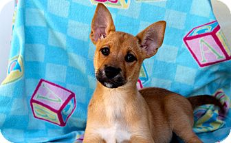 Shepherd (Unknown Type)/Catahoula Leopard Dog Mix Puppy for adoption in Los Angeles, California - Mello Yellow