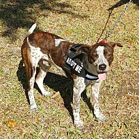 German Shorthaired Pointer Mix Dog for adoption in Houston, Texas - Rocky