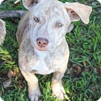 Adopt A Pet :: Jaxon - Pipe Creed, TX