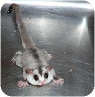 Sugar Glider for adoption in Van Alstyne, Texas - Mystic