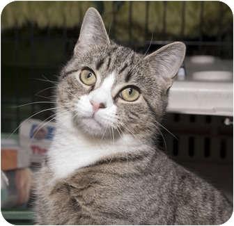 Domestic Shorthair Cat for adoption in New York, New York - Sonya