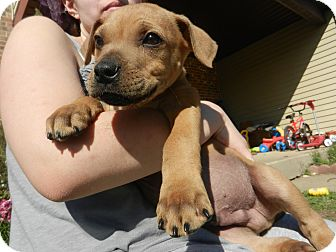 American Bulldog Mix Puppy for adoption in South Jersey, New Jersey - Rob