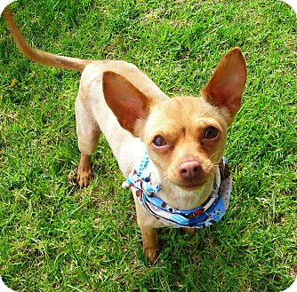 Chihuahua Dog for adoption in El Cajon, California - Latte