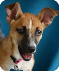 Terrier (Unknown Type, Medium) Mix Puppy for adoption in Minneapolis, Minnesota - Ivy