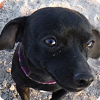 Adopt A Pet :: Chico - Arenas Valley, NM