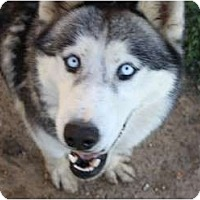 Adopt A Pet :: Clara - Belleville, MI