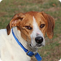 Treeing Walker Coonhound Mix Dog for adoption in Prince Frederick, Maryland - Hobo