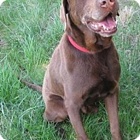 Labrador Retriever Mix Dog for adoption in Huntsville, Alabama - Duke aka Judge