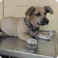 Adopt A Pet :: Adelene - Lomita, CA
