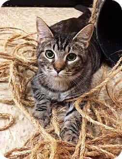 Domestic Shorthair Kitten for adoption in Lake Elsinore, California - Frito