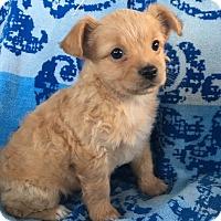 Adopt A Pet :: Tater - La Habra Heights, CA