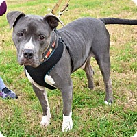 American Staffordshire Terrier Mix Dog for adoption in Von Ormy, Texas - Buddy