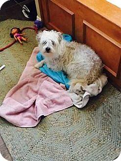 Standard Schnauzer/Maltese Mix Dog for adoption in McCurtain, Oklahoma - Lilly