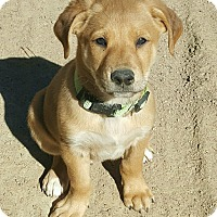 Adopt A Pet :: Stanley (DENVER) - Fort Collins, CO