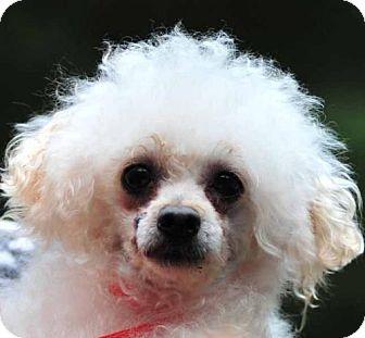 Toy Poodle Dog for adoption in Vernonia, Oregon - Gordon