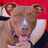 Adopt A Pet :: Millie - Las Vegas, NV