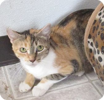 Calico Cat for adoption in Reeds Spring, Missouri - Layla
