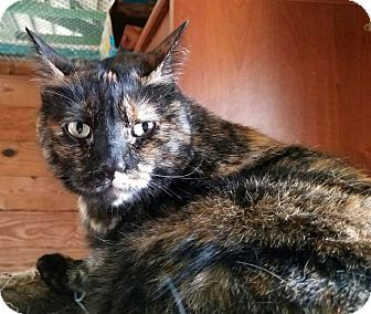 Domestic Shorthair Cat for adoption in Charlotte, North Carolina - A..  Selma