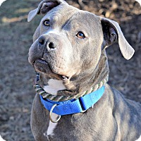 Adopt A Pet :: Baloo - Cranford, NJ