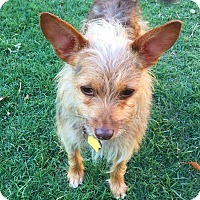 Yorkie, Yorkshire Terrier/Terrier (Unknown Type, Small) Mix Dog for adoption in Waco, Texas - Andy