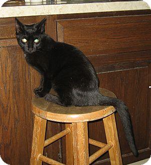 Domestic Shorthair Kitten for adoption in Hamilton, New Jersey - BELLA & MIA - 2013