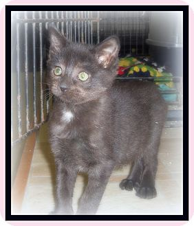 Domestic Shorthair Cat for adoption in Medford, Wisconsin - TINY