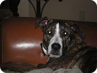 Shepherd (Unknown Type)/American Bulldog Mix Dog for adoption in Apex, North Carolina - Simon