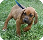 Boxer/Hound (Unknown Type) Mix Puppy for adoption in Staunton, Virginia - Rusty