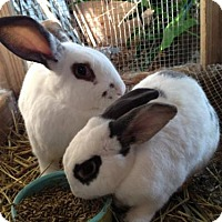 New Zealand for adoption in Paradis, Louisiana - Pippin (& Jellybean)