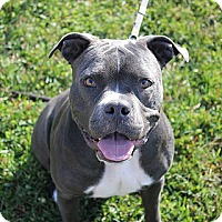 American Staffordshire Terrier/Pit Bull Terrier Mix Dog for adoption in Staunton, Virginia - Sable