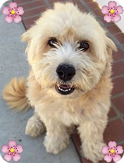 Corgi/Poodle (Miniature) Mix Dog for adoption in Los Angeles, California - Frankie