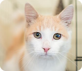 Domestic Mediumhair Kitten for adoption in Los Angeles, California - Redshift