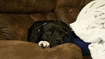 Pit Bull Terrier Mix Dog for adoption in Clifton, Texas - Lizzie