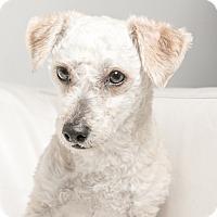 Adopt A Pet :: Wiggles - Inglewood, CA