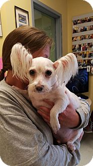 Westie, West Highland White Terrier/Poodle (Miniature) Mix Dog for adoption in Crump, Tennessee - Mickie-D