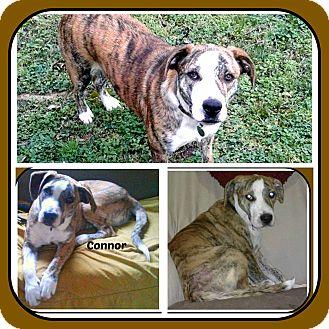 Mountain Cur Puppy for adoption in Malvern, Arkansas - CONNOR