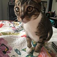 Adopt A Pet :: Mittens - Athens, GA