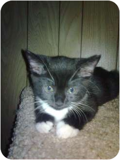 Domestic Shorthair Cat for adoption in Kirkwood, Delaware - Brightie