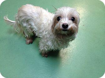 Maltese Dog for adoption in New York, New York - Galia