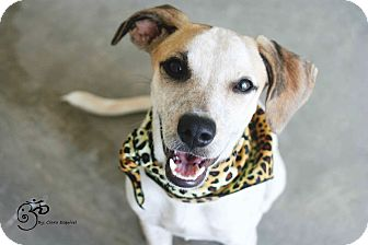Fox Terrier (Smooth) Mix Puppy for adoption in Edmonton, Alberta - Holly