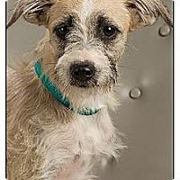 Adopt A Pet :: Dopey - Owensboro, KY