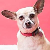 Chihuahua Mix Dog for adoption in Pt. Richmond, California - BONITA