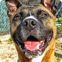 Pit Bull Terrier Mix Dog for adoption in West Babylon, New York - Tiger